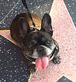 French Bulldog on Hollywood Walk of Fame Star.jpg