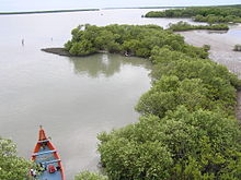 Fringing mangroves, mudflat and in Muthupet Lagoon.JPG