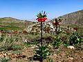 Fritillaria imperialis2463741233.jpg