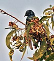 Fruit & leaves with Bronzed Drongo I IMG 1669.jpg