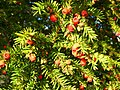Fruit of the yew - geograph.org.uk - 1036026.jpg