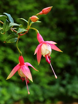 Fuchsia 'Patio Princess'.JPG