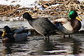 Fulica atra winter.jpg