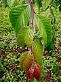 GFA U. lanceifolia 1.jpg
