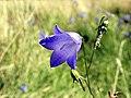 GOC Bengeo to Woodhall Park 152 Harebell (Campanula rotundifolia) (8108101261).jpg