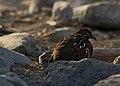Galápagos dove (4201807953).jpg
