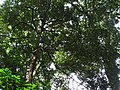 Garcinia imberti-1-chemunji-kerala-India.jpg
