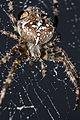 Garden spider with dew.JPG