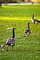 Geese in a Row (2940361598).jpg