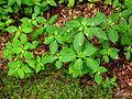 Gelb blühende Pflanze Waldgebiet Klein-Auheim Juni 2012.JPG