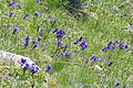 Gentiana acaulis-2029 - Flickr - Ragnhild & Neil Crawford.jpg
