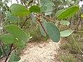 Geometridae sp. (5370758507).jpg