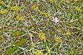 Geraniaceae sp.-CTJ-IMG 7141.jpg