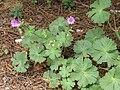 Geranium pyrenaicum (8871371203).jpg