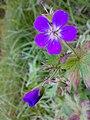 Geranium sylvaticum 02.jpg