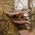 Gewone oesterzwam (Pleurotus ostreatus) 31-12-2020 (d.j.b.) 02.jpg