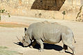 Gfp-white-rhino.jpg