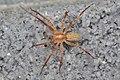 Ghost Spider (Anyphaenidae) - Guelph, Ontario 2016-06-25.jpg