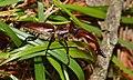 Giant Stag Beetle (Elk Stag Beetle) (47995014278).jpg
