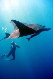 Giant Pacific manta.  A large commensalistic remora is visible on the manta's ventral side