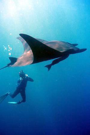 Gulf of California - Giant Pacific manta ray