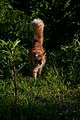 Gillie emerging from the darkest jungle (7404597734).jpg