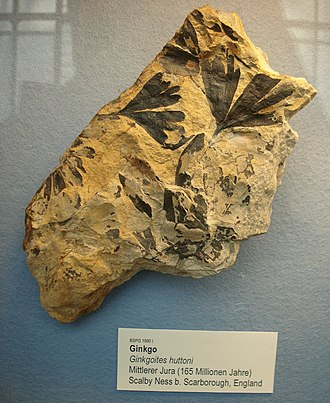 Ginkgoites - fossil leaves identified as Gingkoites