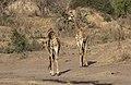 Giraffe, Giraffa camelopardalis at Mahone Loop, Punda Maria, Kruger National Park, South Africa (20199421713).jpg
