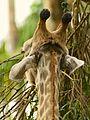Giraffe IV (13945323321).jpg