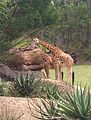 Giraffes at Australia Zoo.jpg