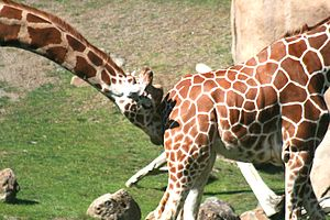 A male giraffe is courting a female giraffe in...
