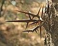 Gleditschia-triacanthos-espinas.jpg