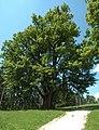 Globasnitz Hemmaberg Linde Naturdenkmal 19062007 01.jpg