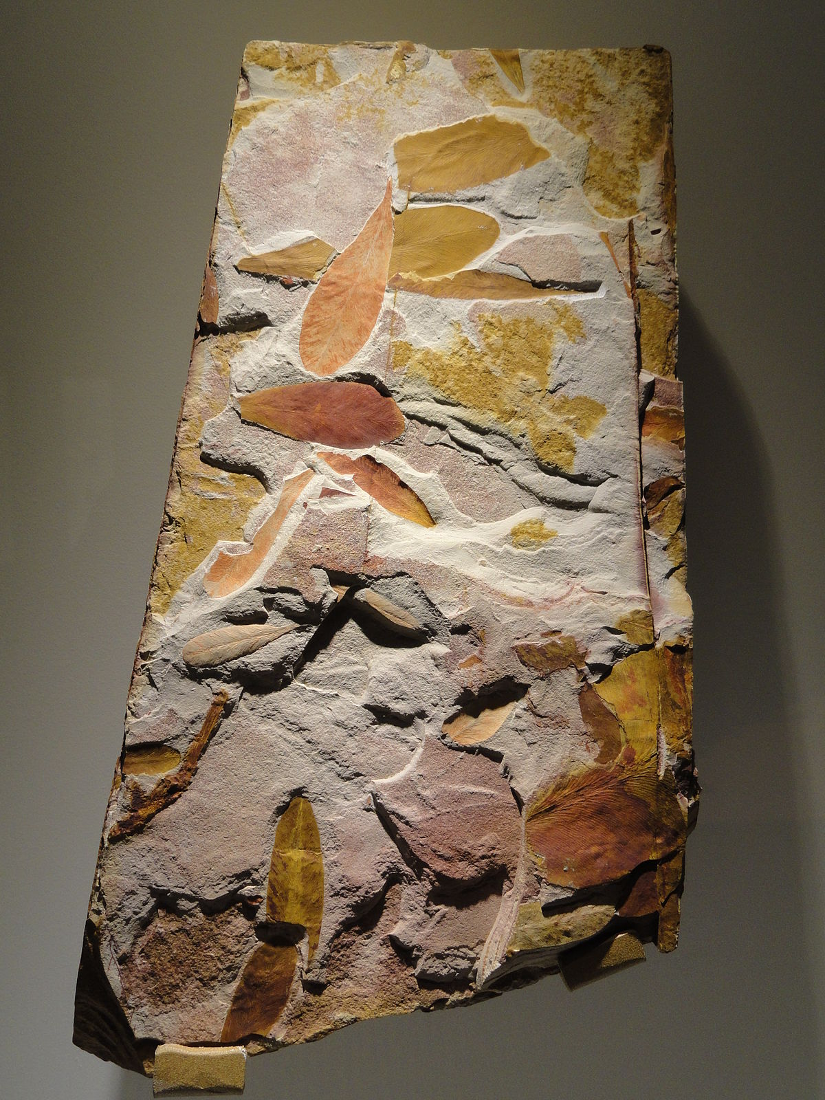 Glossopteris sp., seed ferns, Permian - Triassic - Houston Museum of Natural Science - DSC01765.JPG