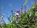 Glycine clandestina flower6 (15099590199).jpg