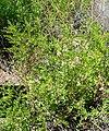 Glycyrrhiza lepidota 1.jpg