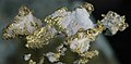 Gold and quartz (Placerville, California, USA) (17207487751).jpg