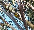 Golden Whistler. Pachycephala pectoralis - Flickr - gailhampshire.jpg