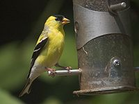Eastern goldfinch / Cadernera americana