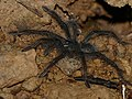 Goliath Birdeater Tarantula (Theraphosa blondi) juvenile (second stage) (38464254746).jpg