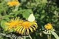 Gonepteryx rhamni - Zitronenfalter auf Blüte.jpg