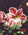 Gran Canaria (Flora) 22.jpg