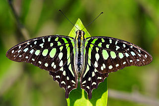 <i>Graphium agamemnon</i> species of insect