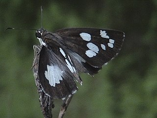 Ancistroidini Tribe of butterflies
