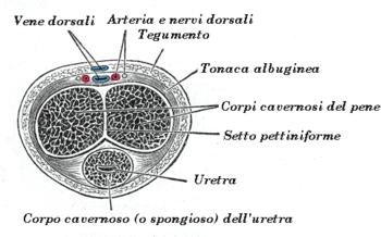 eiaculazione dolorosa durante la masturbazione e lividi sul prepuzio
