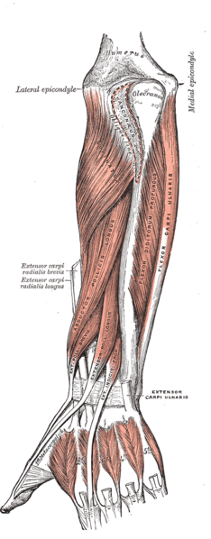 Deep muscle of the wrist. Muscles of the lower arm. Muscles of the wrist.