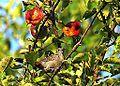 Gray Catbird (15291029542).jpg
