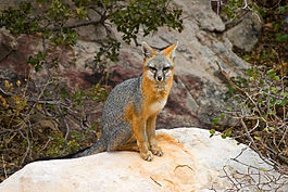 Gray Fox II - Red Rock Canyon, Nevada.jpg