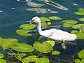 Grazing on water lillies @ Baby swan @ Lake Annecy @ Port de Saint-Jorioz (50487812976).jpg