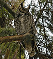 Great Horned Owl at sanctuary in BC.jpg